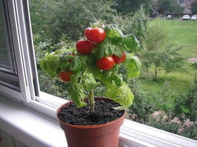 cac virastiti pomidori bez tepliti fotofggffgfg