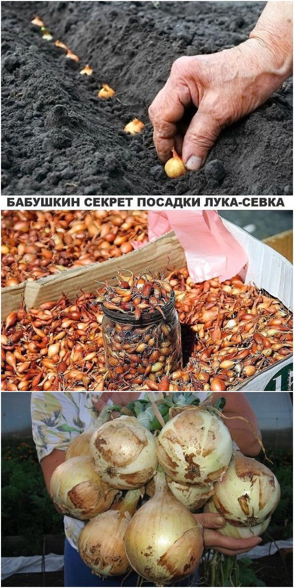 Бабушкин секрет посева лука-севка
