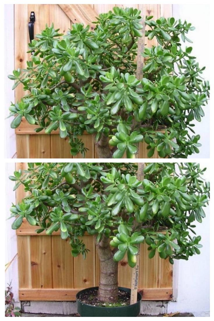 Многие выращивают дома «Денежное дерево»: знайте, что вы поливаете и выращиваете.